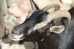 Cabeça da cabra Foto de Stock