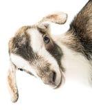 Cabeça da cabra do bebê imagem de stock