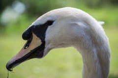 Cabeça da cisne Imagem de Stock
