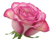 A cabeça da cor-de-rosa levantou-se Fotografia de Stock Royalty Free