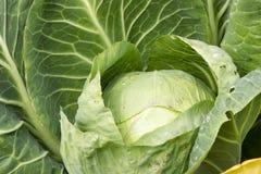 Cabeça da couve no jardim Imagem de Stock