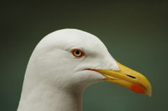 Cabeça da gaivota Foto de Stock