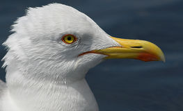 Cabeça da gaivota Imagens de Stock Royalty Free