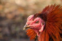 Cabeça da galinha, Gamecube imagem de stock