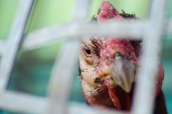 Cabeça da galinha, Gamecube imagens de stock