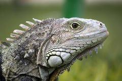 Cabeça da iguana Fotografia de Stock