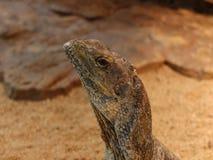 Cabeça da iguana Imagens de Stock