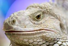 Cabeça da iguana do close up Foto de Stock