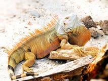 Cabeça da iguana que mostra acima a grande haste Imagens de Stock