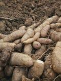 Cabeça da mandioca em cultivar lotes foto de stock