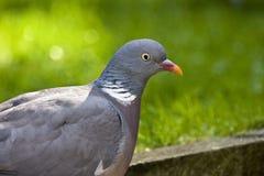 Cabeça da pomba ou do pombo torcaz do estoque Fotos de Stock