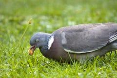 Cabeça da pomba ou do pombo torcaz do estoque Fotografia de Stock Royalty Free