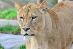 Cabeça da posição da leoa Imagem de Stock Royalty Free