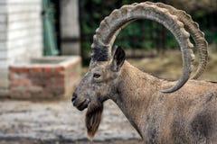 Cabeça da ram da montanha no perfil no jardim zoológico em Ucrânia fotografia de stock
