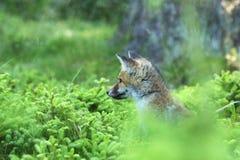 Cabeça da raposa vermelha nova na floresta - vulpes do Vulpes Fotos de Stock