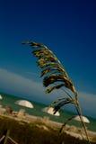 Cabeça da semente da aveia do mar Imagens de Stock Royalty Free