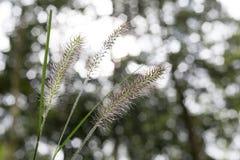 Cabeça da semente da grama imagens de stock royalty free