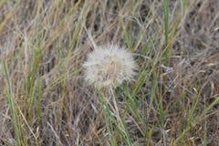 Cabeça da semente de uma planta selvagem do cercefi imagens de stock royalty free
