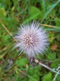 Cabeça da semente do cardo Foto de Stock Royalty Free