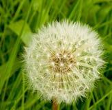 Cabeça da semente do dente-de-leão. Imagens de Stock