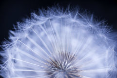 Cabeça da semente do dente-de-leão Imagem de Stock Royalty Free