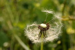 Cabeça da semente do dente-de-leão Fotos de Stock