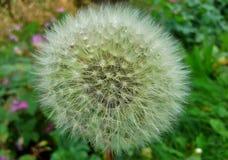 Cabeça 3 da semente do dente-de-leão Foto de Stock