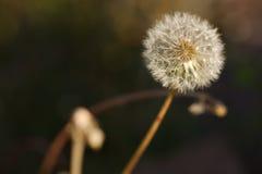 Cabeça da semente do dente-de-leão fotografia de stock