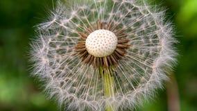 Cabeça da semente do dente-de-leão com o centro exposto imagens de stock