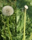 A cabeça da semente do dente-de-leão do Diptych completamente das sementes e esvazia foto de stock royalty free