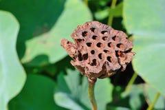 Cabeça da semente dos lótus Fotos de Stock