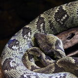 Cabeça da serpente Fotos de Stock Royalty Free
