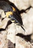 Cabeça da serpente de grama com sua língua que pendura para fora o rastejamento no grou fotografia de stock