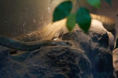 A cabeça da serpente encontra-se para baixo na rocha para esconder para a rapina da caça fotografia de stock