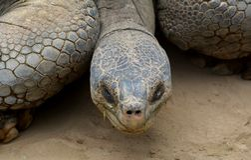Cabeça da tartaruga gigante foto de stock royalty free