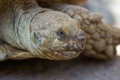 A cabeça da tartaruga velha no selvagem Fotografia de Stock Royalty Free