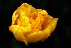 Cabeça da tulipa amarela Fotos de Stock Royalty Free