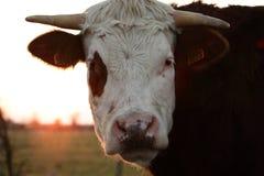 Cabeça da vaca Imagem de Stock Royalty Free