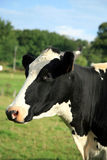 Cabeça da vaca Imagens de Stock Royalty Free