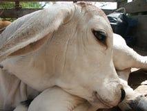 Cabeça da vaca do bebê imagem de stock royalty free