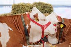 Cabeça da vaca do Simmental com corda da ligação nela Foco seletivo Foto de Stock