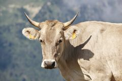 Cabeça da vaca que olha a câmera livestock Fundo da montanha imagens de stock royalty free