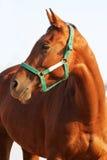 A cabeça da vista lateral disparou de um cavalo novo da castanha Foto de Stock