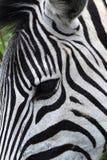 Cabeça da zebra. imagens de stock