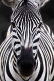 Cabeça da zebra foto de stock