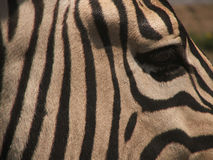 Cabeça da zebra Fotos de Stock Royalty Free
