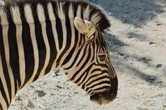 Cabeça da zebra dos animais selvagens do detalhe Fotos de Stock Royalty Free