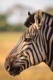 Cabeça da zebra no profil imagem de stock