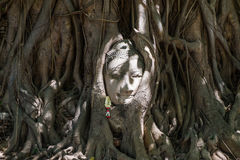 Cabeça das Budas dentro da árvore imagem de stock royalty free
