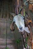 Cabeça das cabras Imagens de Stock Royalty Free
